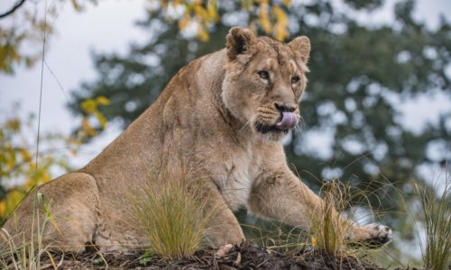 UK's largest habitat for world's rarest lions opens at Chester Zoo